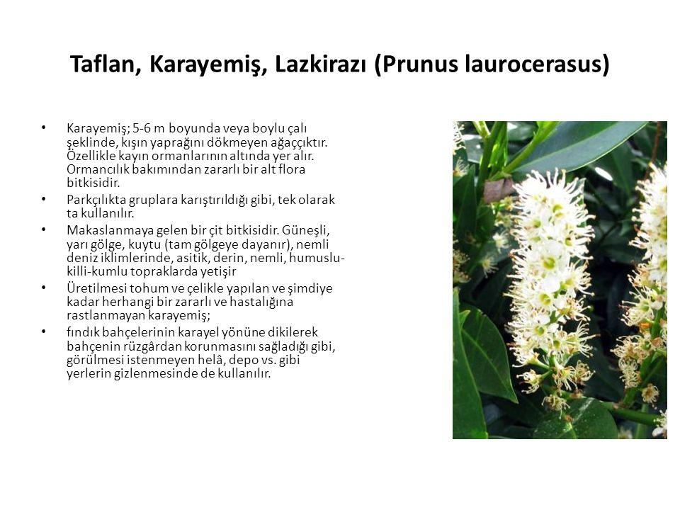 Taflan, Karayemiş, Lazkirazı (Prunus laurocerasus) Karayemiş; 5-6 m boyunda veya boylu çalı şeklinde, kışın yaprağını dökmeyen ağaççıktır.