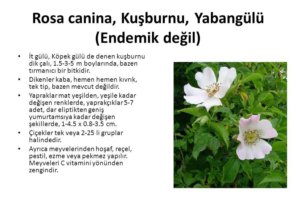Rosa canina, Kuşburnu, Yabangülü (Endemik değil) İt gülü, Köpek gülü de denen kuşburnu dik çalı, 1.5-3-5 m boylarında, bazen tırmanıcı bir bitkidir.