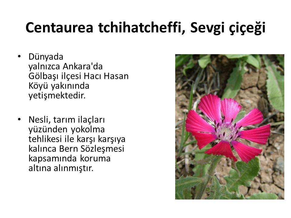 Centaurea tchihatcheffi, Sevgi çiçeği Dünyada yalnızca Ankara da Gölbaşı ilçesi Hacı Hasan Köyü yakınında yetişmektedir.