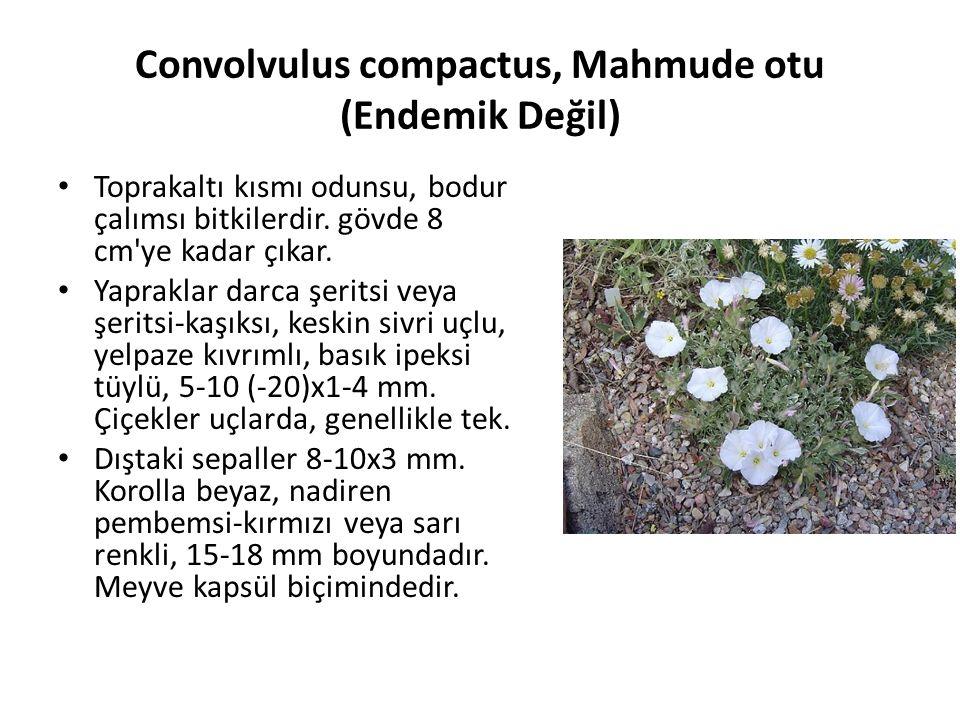 Convolvulus compactus, Mahmude otu (Endemik Değil) Toprakaltı kısmı odunsu, bodur çalımsı bitkilerdir.