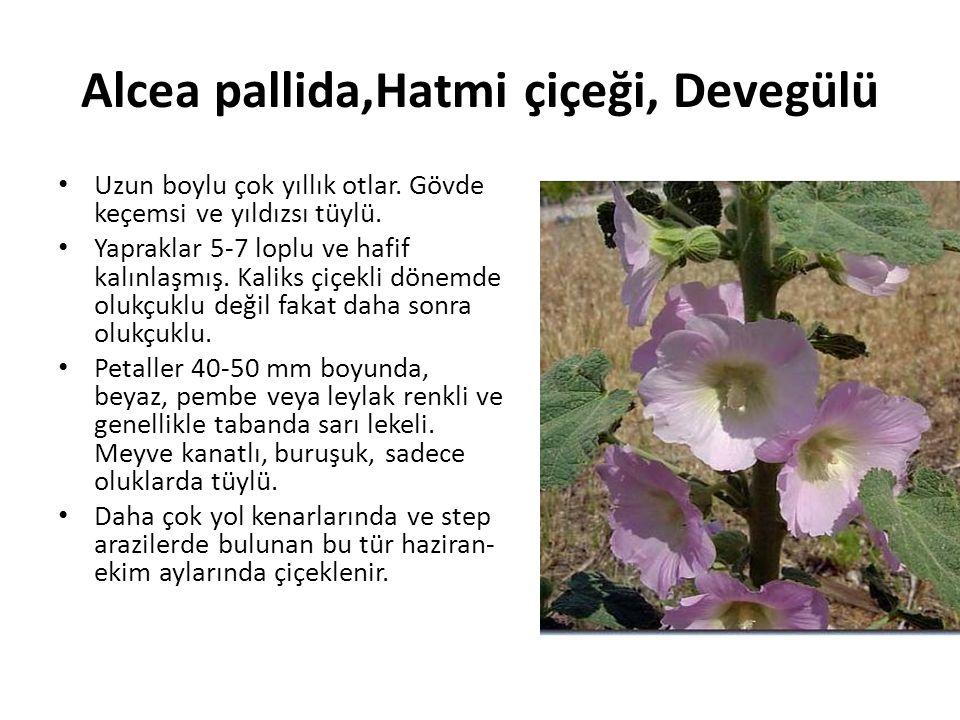 Alcea pallida,Hatmi çiçeği, Devegülü Uzun boylu çok yıllık otlar.