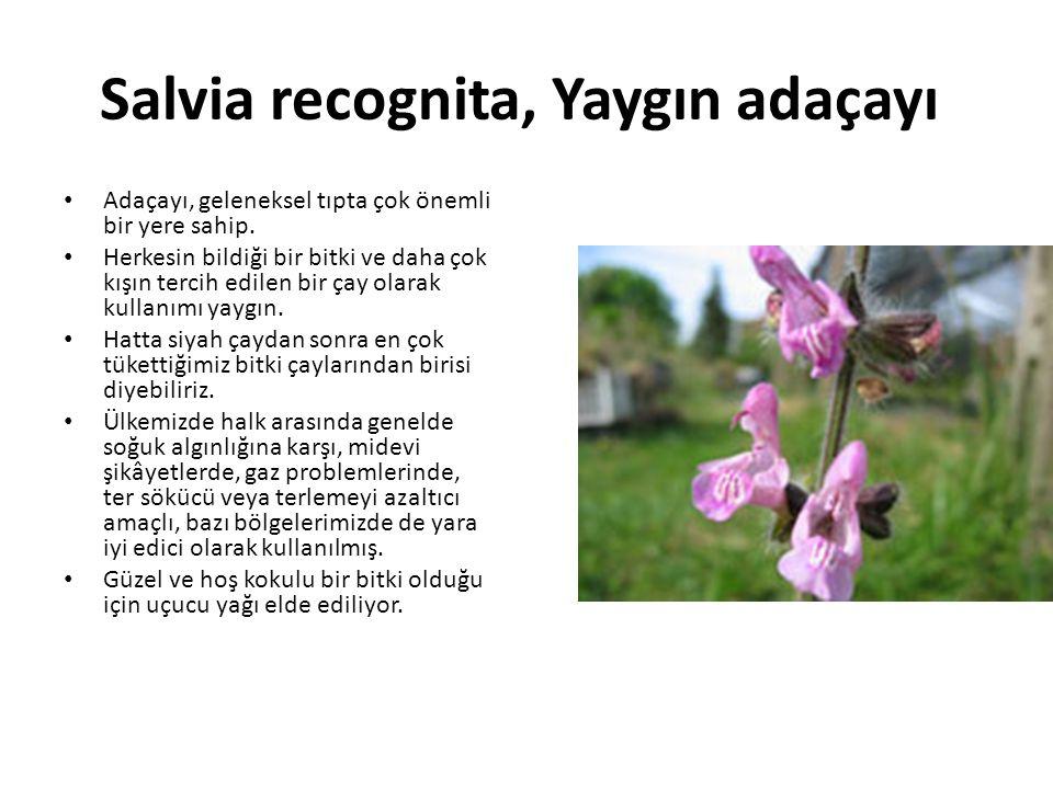Salvia recognita, Yaygın adaçayı Adaçayı, geleneksel tıpta çok önemli bir yere sahip.