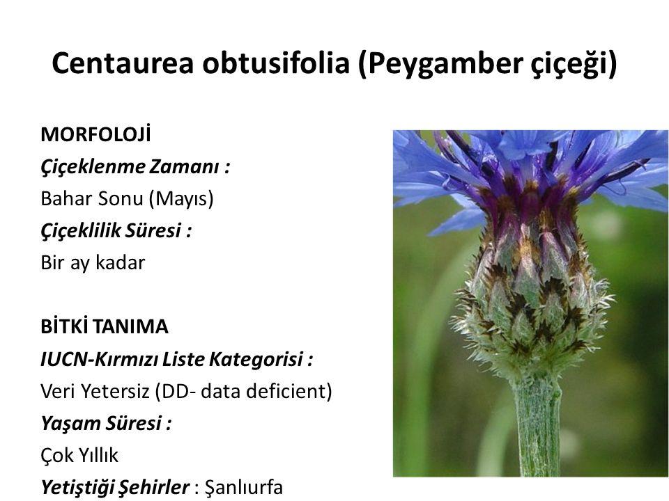 Centaurea obtusifolia (Peygamber çiçeği) MORFOLOJİ Çiçeklenme Zamanı : Bahar Sonu (Mayıs) Çiçeklilik Süresi : Bir ay kadar BİTKİ TANIMA IUCN-Kırmızı Liste Kategorisi : Veri Yetersiz (DD- data deficient) Yaşam Süresi : Çok Yıllık Yetiştiği Şehirler : Şanlıurfa