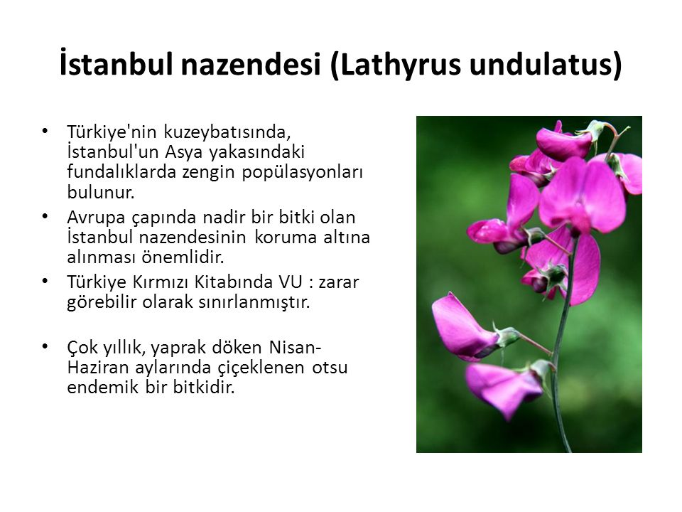 İstanbul nazendesi (Lathyrus undulatus) Türkiye nin kuzeybatısında, İstanbul un Asya yakasındaki fundalıklarda zengin popülasyonları bulunur.