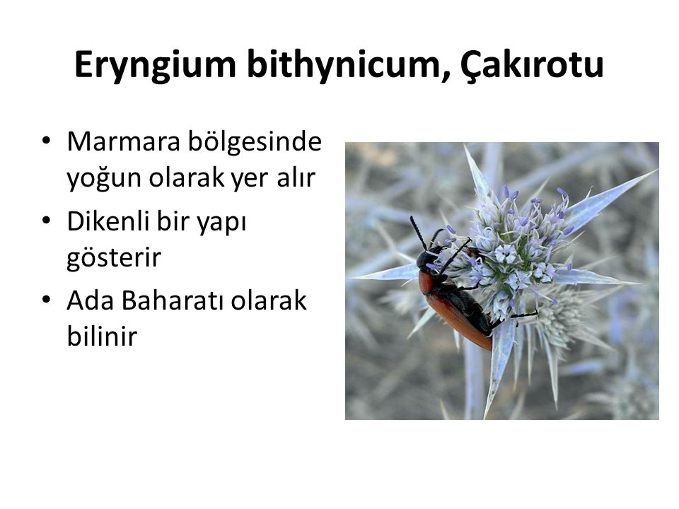 Eryngium bithynicum, Çakırotu Marmara bölgesinde yoğun olarak yer alır Dikenli bir yapı gösterir Ada Baharatı olarak bilinir