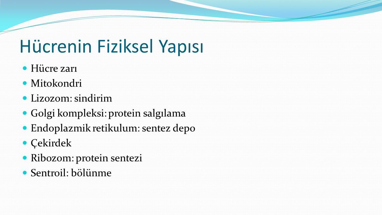 Hücrenin Fiziksel Yapısı Hücre zarı Mitokondri Lizozom: sindirim Golgi kompleksi: protein salgılama Endoplazmik retikulum: sentez depo Çekirdek Ribozo