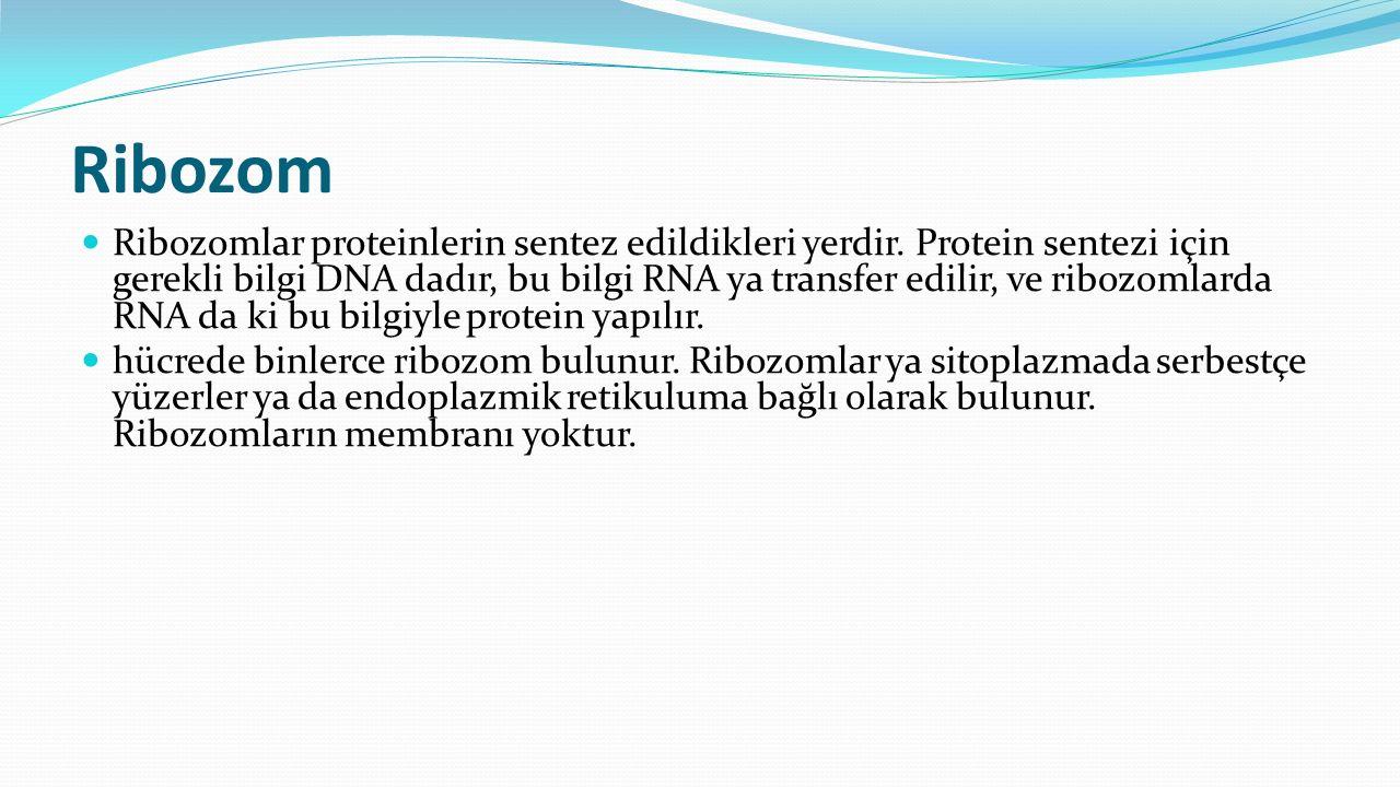 Ribozom Ribozomlar proteinlerin sentez edildikleri yerdir. Protein sentezi için gerekli bilgi DNA dadır, bu bilgi RNA ya transfer edilir, ve ribozomla