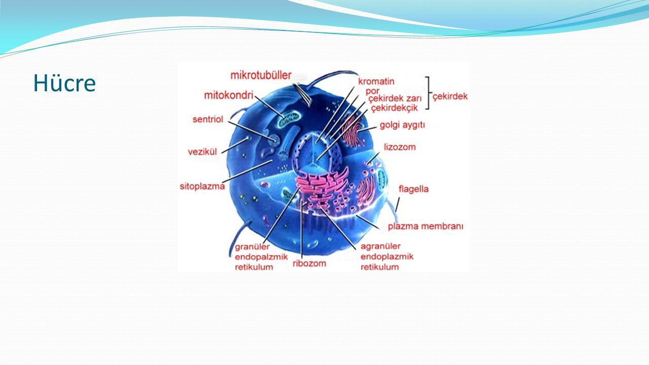 Çekirdek (Nükleus) Nükleus DNA nın bulunduğu ve DNA daki bilginin RNA ya aktarıldığı yerdir.