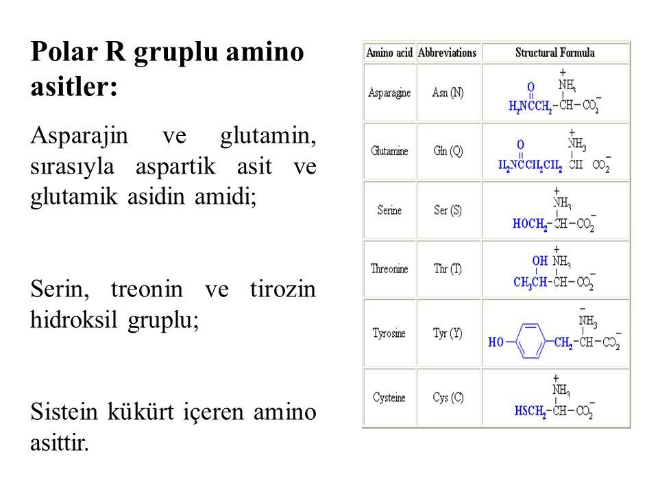 Polar R gruplu amino asitler: Asparajin ve glutamin, sırasıyla aspartik asit ve glutamik asidin amidi; Serin, treonin ve tirozin hidroksil gruplu; Sistein kükürt içeren amino asittir.