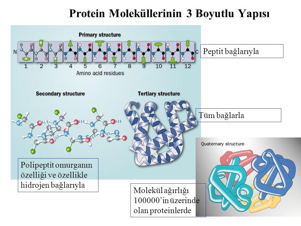 Protein Moleküllerinin 3 Boyutlu Yapısı Peptit bağlarıyla Polipeptit omurganın özelliği ve özellikle hidrojen bağlarıyla Tüm bağlarla Molekül ağırlığı 100000'in üzerinde olan proteinlerde