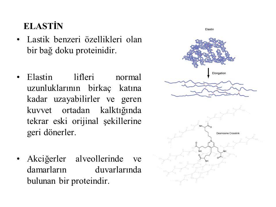 ELASTİN Lastik benzeri özellikleri olan bir bağ doku proteinidir. Elastin lifleri normal uzunluklarının birkaç katına kadar uzayabilirler ve geren kuv