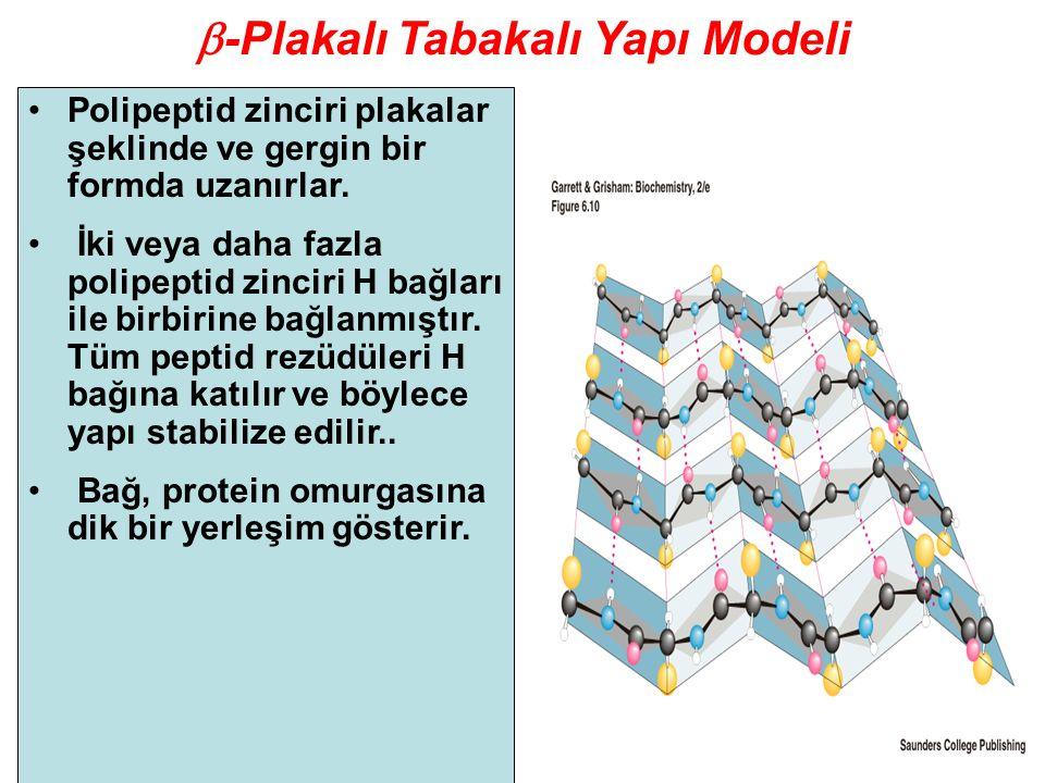  -Plakalı Tabakalı Yapı Modeli Polipeptid zinciri plakalar şeklinde ve gergin bir formda uzanırlar. İki veya daha fazla polipeptid zinciri H bağları