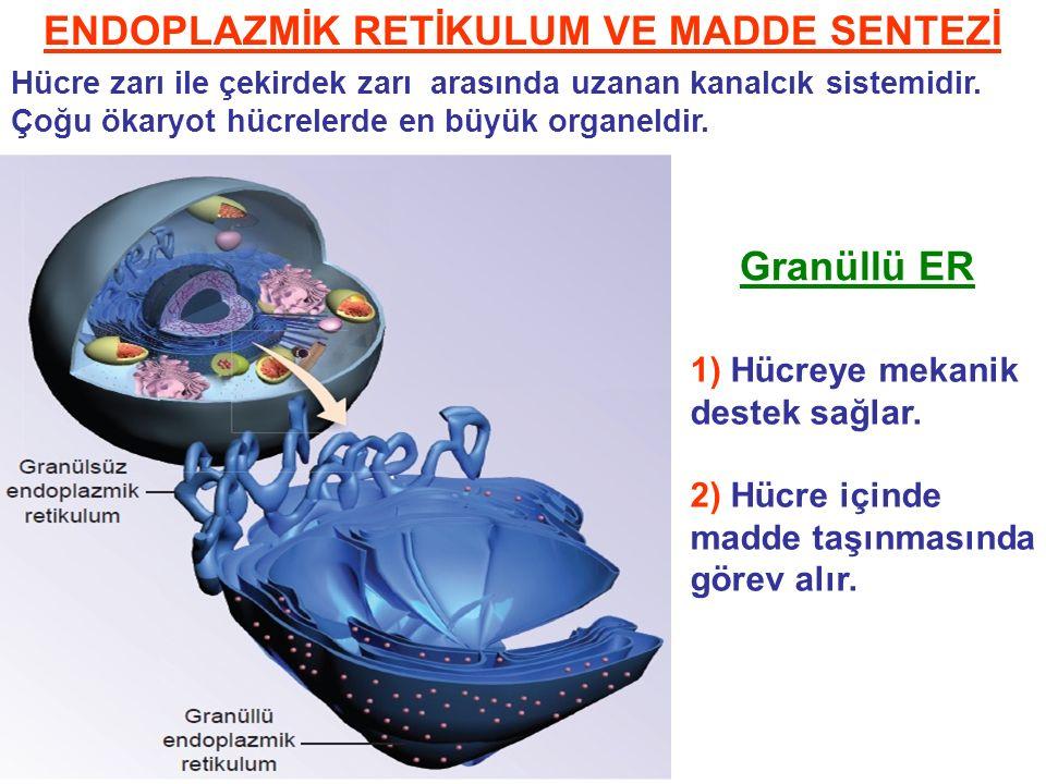 ENDOPLAZMİK RETİKULUM VE MADDE SENTEZİ Hücre zarı ile çekirdek zarı arasında uzanan kanalcık sistemidir.