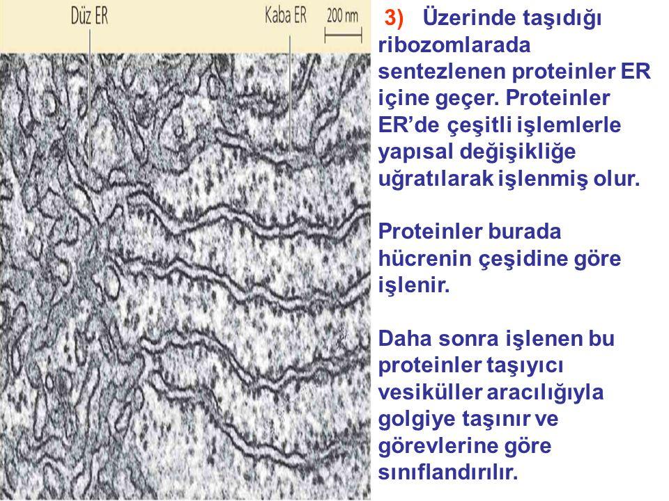 3) Üzerinde taşıdığı ribozomlarada sentezlenen proteinler ER içine geçer.