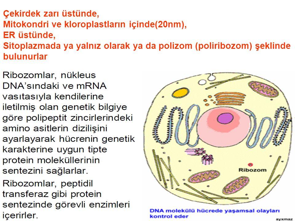 Çekirdek zarı üstünde, Mitokondri ve kloroplastların içinde(20nm), ER üstünde, Sitoplazmada ya yalnız olarak ya da polizom (poliribozom) şeklinde bulunurlar