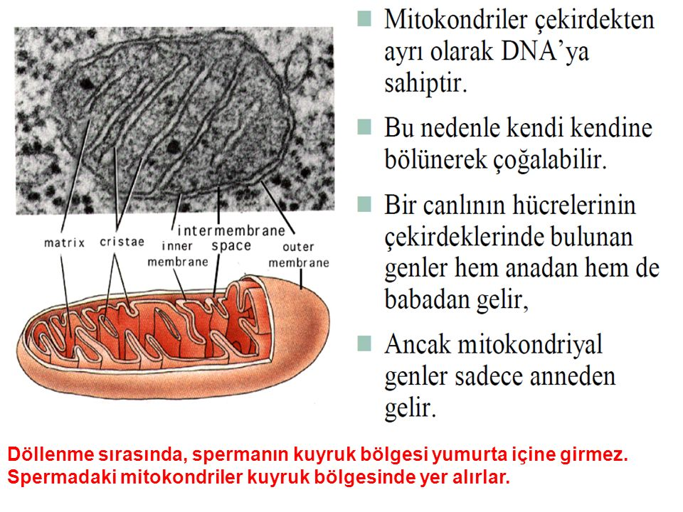 Mitokondri DNA'sı sınırlı bilgi taşımaktadır.Bölünmeleri hücrenin DNA'sının kontrolünde olur.