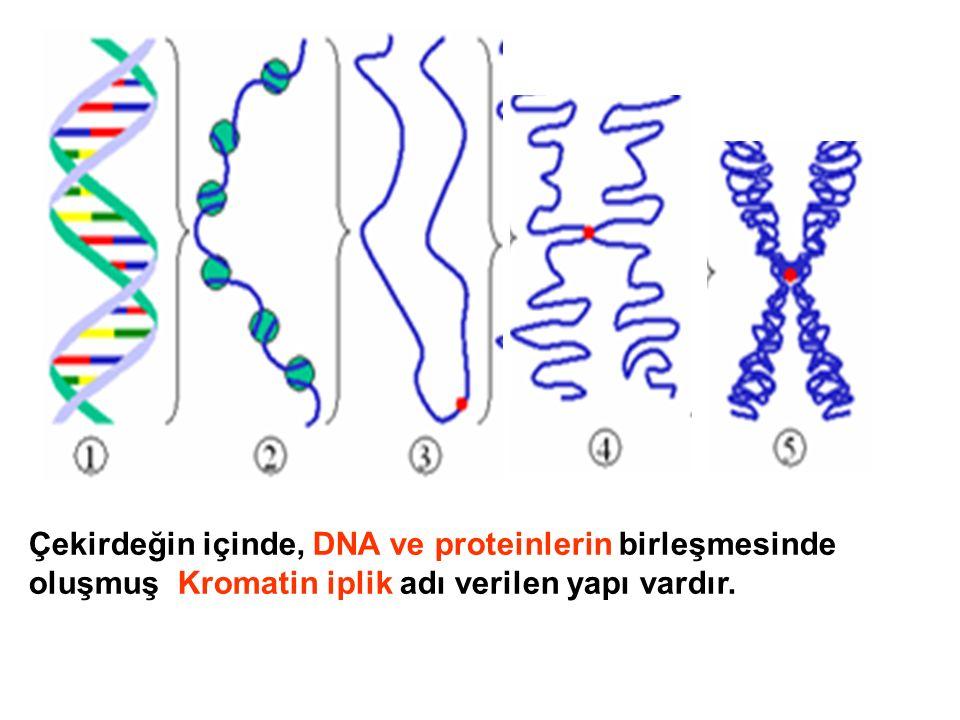 Çekirdeğin içinde, DNA ve proteinlerin birleşmesinde oluşmuş Kromatin iplik adı verilen yapı vardır.