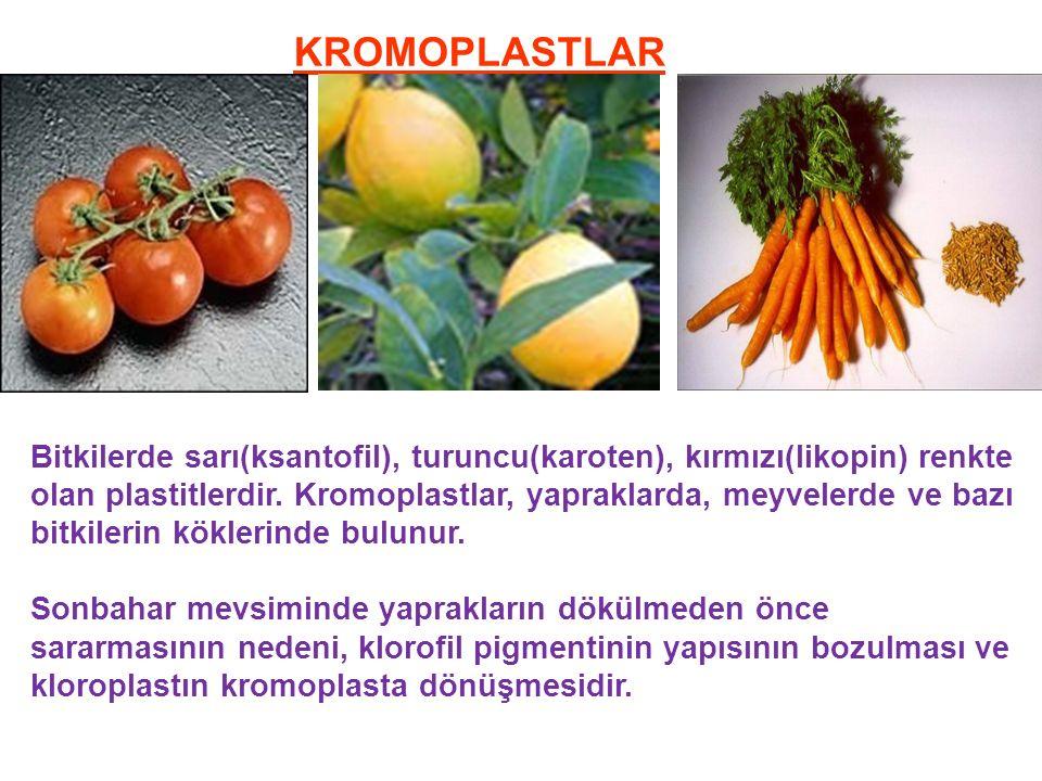 KROMOPLASTLAR Bitkilerde sarı(ksantofil), turuncu(karoten), kırmızı(likopin) renkte olan plastitlerdir.