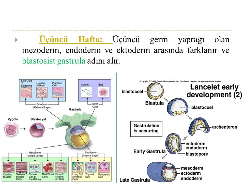  Üçüncü Hafta: Üçüncü germ yaprağı olan mezoderm, endoderm ve ektoderm arasında farklanır ve blastosist gastrula adını alır. 7/35