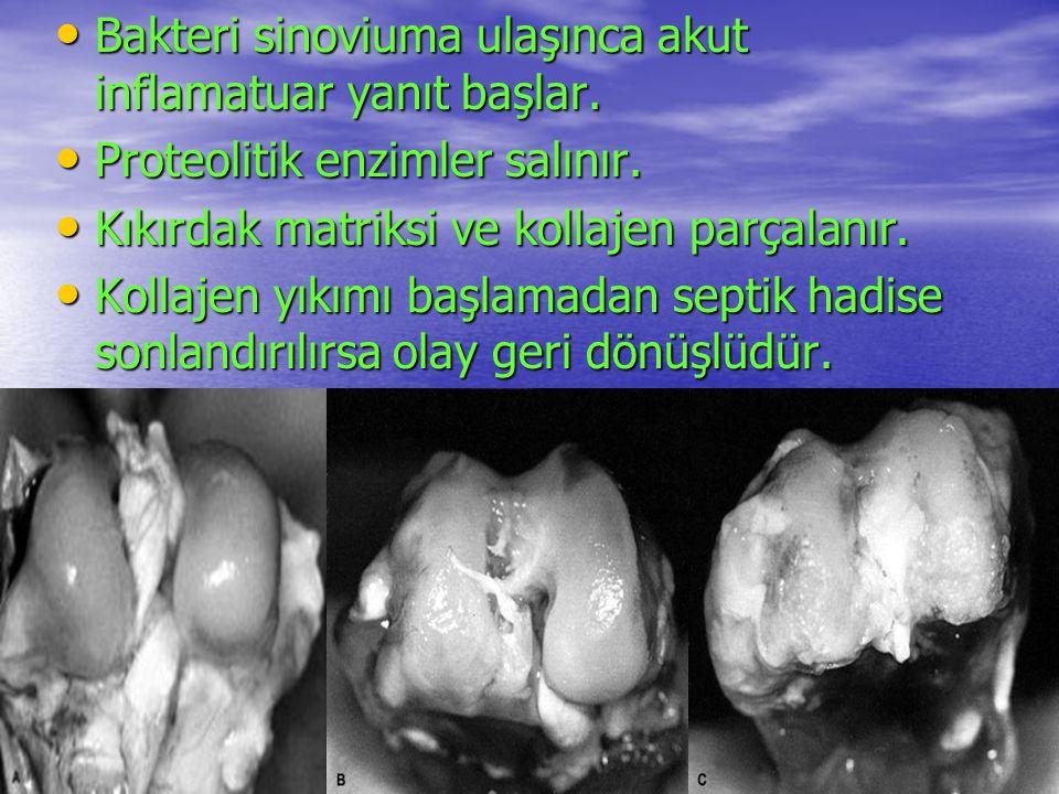 Bakteri sinoviuma ulaşınca akut inflamatuar yanıt başlar.