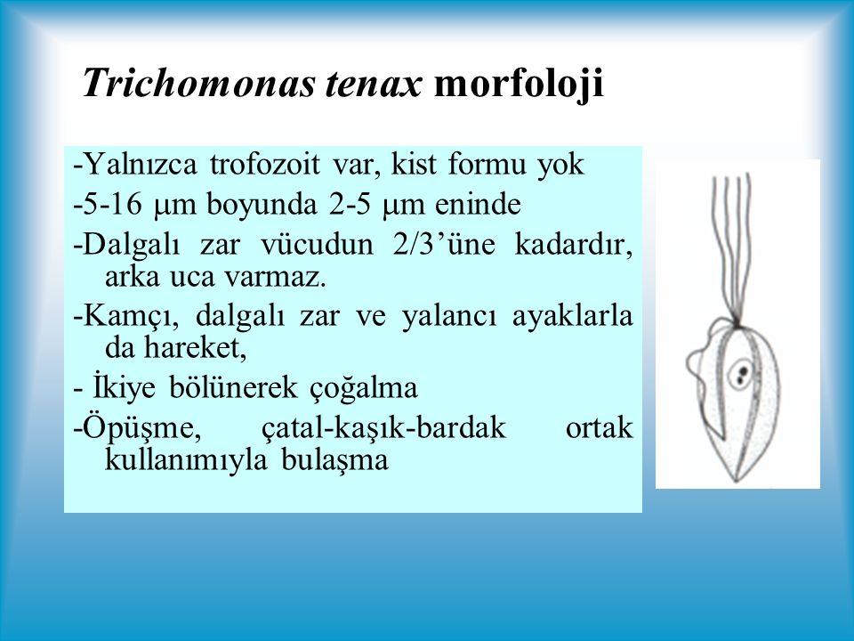 Trichomonas tenax morfoloji -Yalnızca trofozoit var, kist formu yok -5-16  m boyunda 2-5  m eninde -Dalgalı zar vücudun 2/3'üne kadardır, arka uca varmaz.