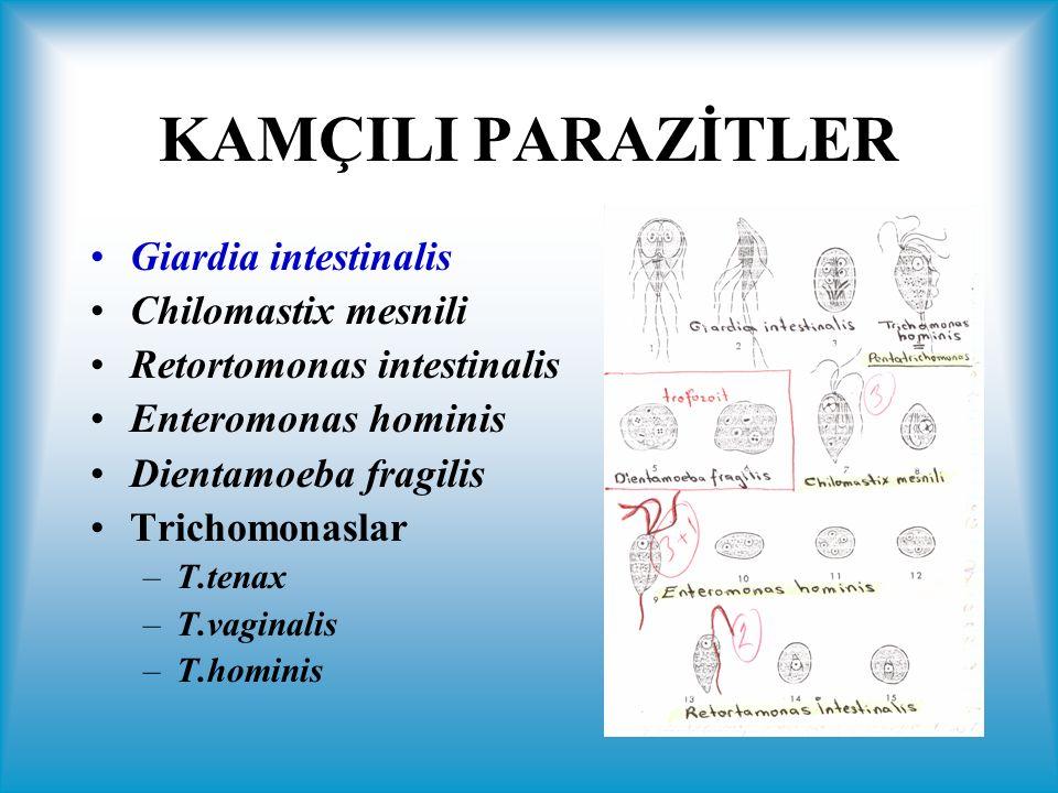 Trichomonas intestinalis (T.hominis, Pentatrichomonas hominis) Kalın barsakta yaşar.