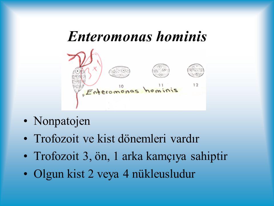Enteromonas hominis Nonpatojen Trofozoit ve kist dönemleri vardır Trofozoit 3, ön, 1 arka kamçıya sahiptir Olgun kist 2 veya 4 nükleusludur