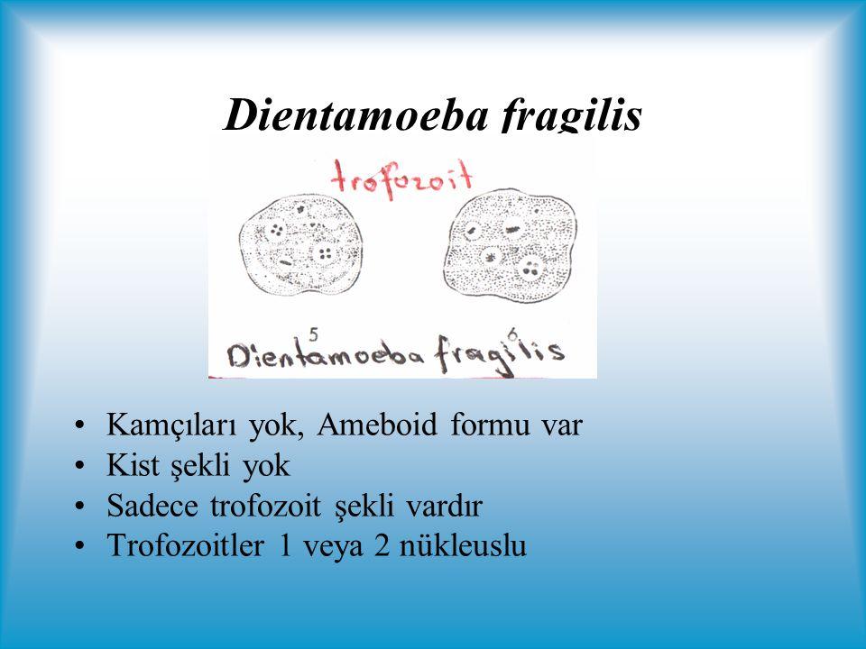 Dientamoeba fragilis Kamçıları yok, Ameboid formu var Kist şekli yok Sadece trofozoit şekli vardır Trofozoitler 1 veya 2 nükleuslu