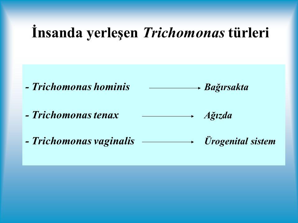 - Trichomonas hominis Bağırsakta - Trichomonas tenax Ağızda - Trichomonas vaginalis Ürogenital sistem İnsanda yerleşen Trichomonas türleri