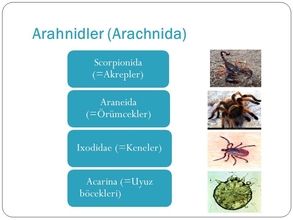 Arahnidler (Arachnida) Scorpionida (=Akrepler) Araneida (=Örümcekler) Ixodidae (=Keneler) Acarina (=Uyuz böcekleri)
