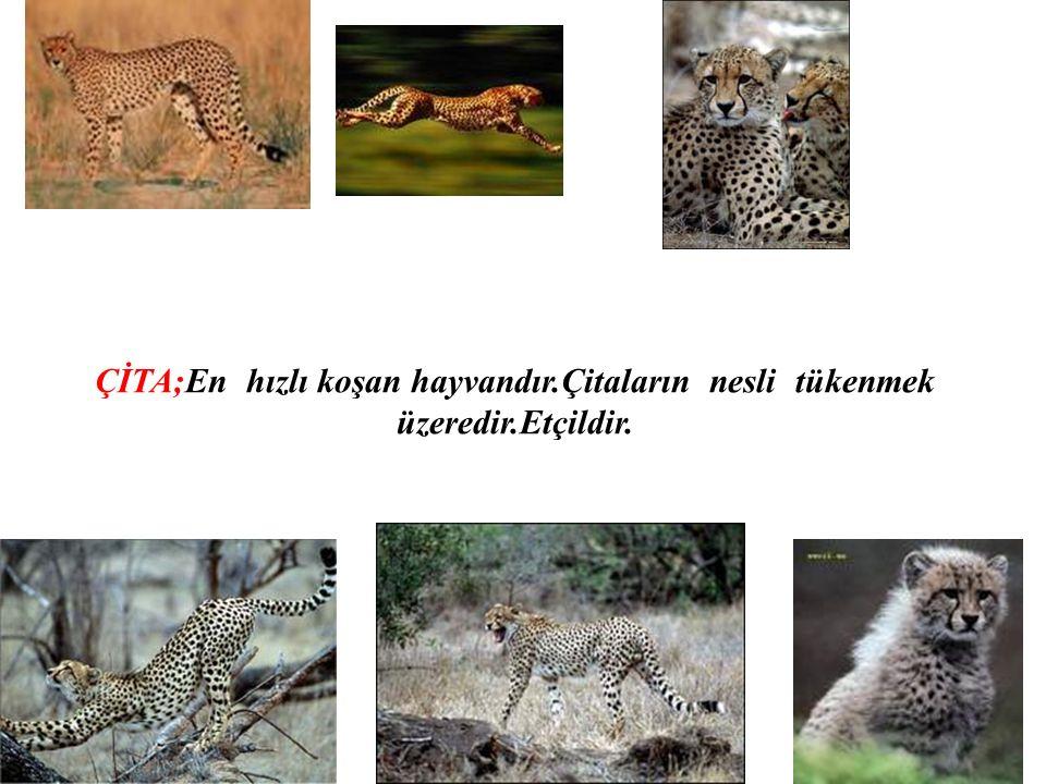 ÇİTA;En hızlı koşan hayvandır.Çitaların nesli tükenmek üzeredir.Etçildir.