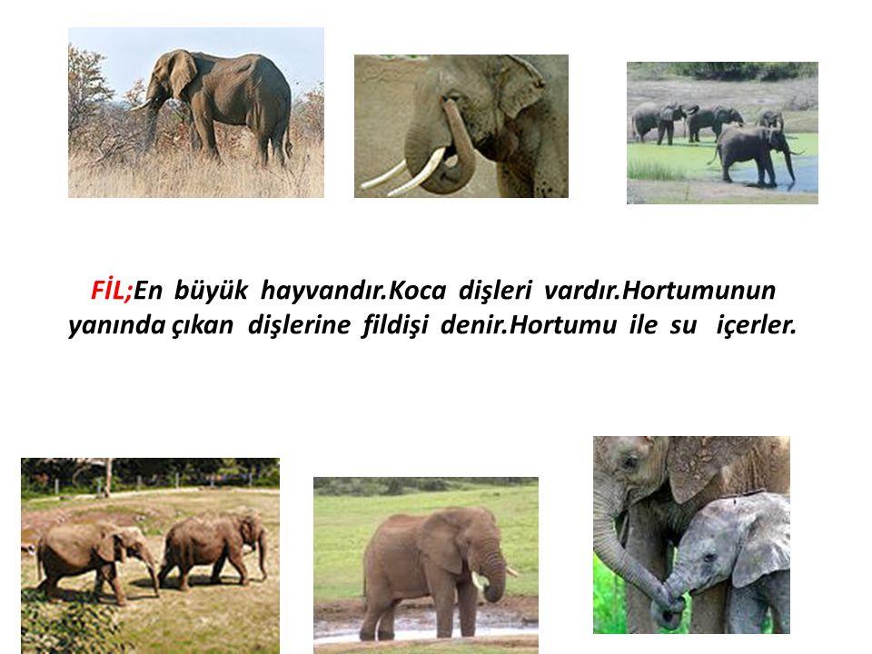 FİL;En büyük hayvandır.Koca dişleri vardır.Hortumunun yanında çıkan dişlerine fildişi denir.Hortumu ile su içerler.