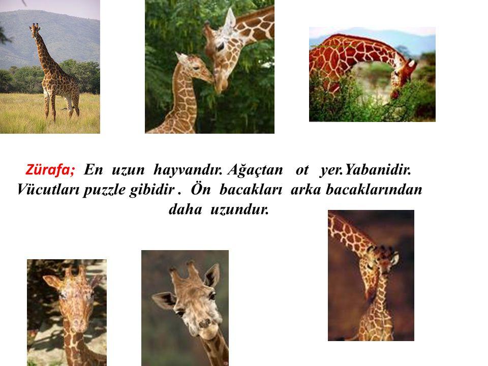 Zürafa ; En uzun hayvandır. Ağaçtan ot yer.Yabanidir. Vücutları puzzle gibidir. Ön bacakları arka bacaklarından daha uzundur.