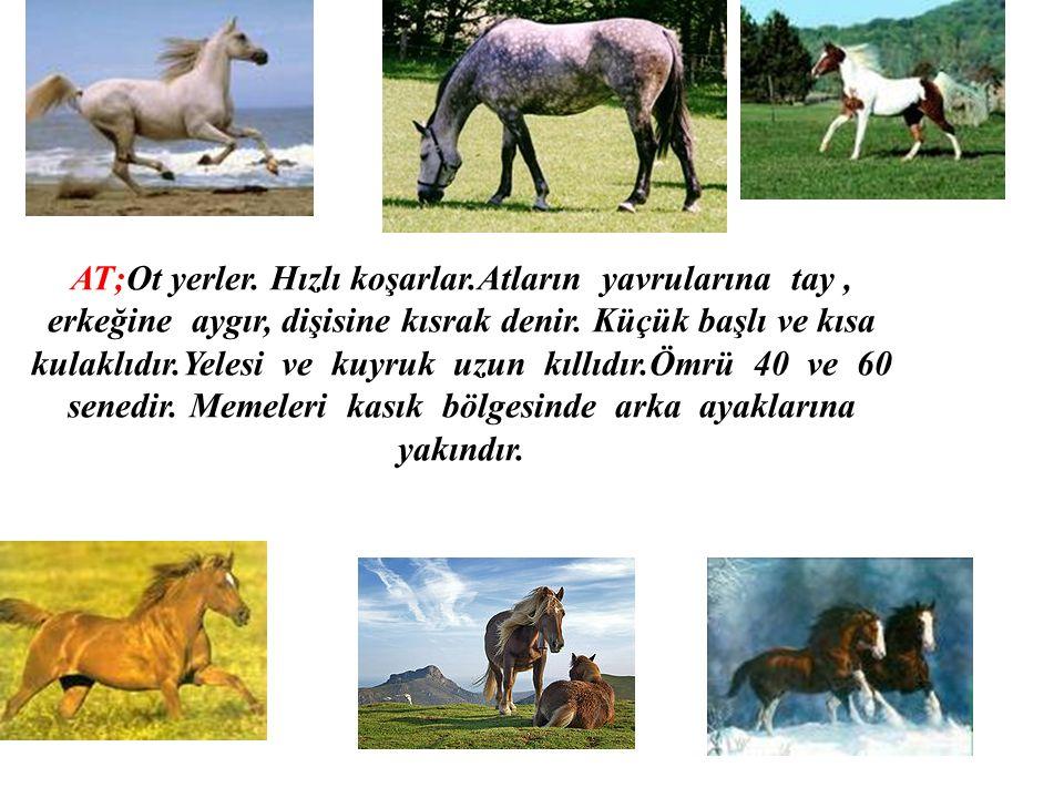 AT;Ot yerler. Hızlı koşarlar.Atların yavrularına tay, erkeğine aygır, dişisine kısrak denir. Küçük başlı ve kısa kulaklıdır.Yelesi ve kuyruk uzun kıll