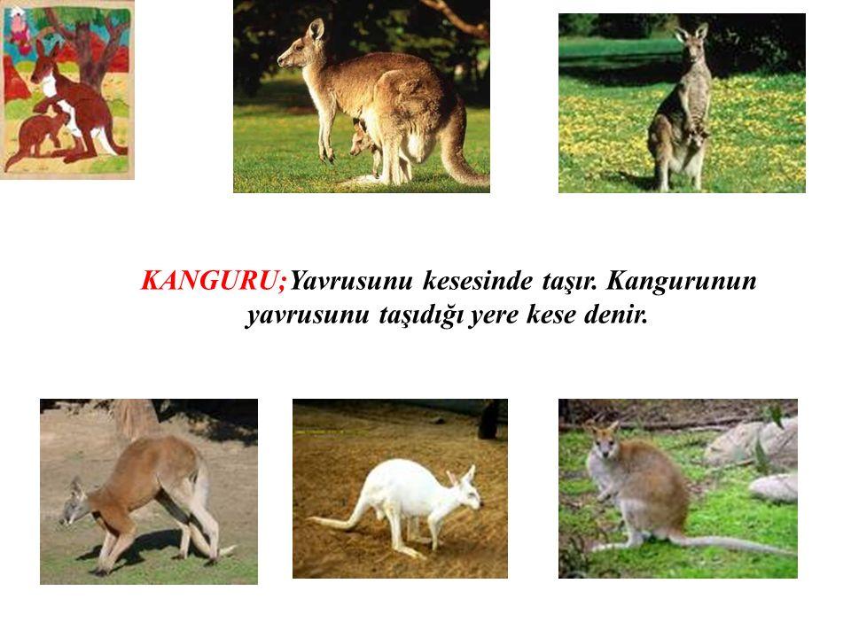 KANGURU;Yavrusunu kesesinde taşır. Kangurunun yavrusunu taşıdığı yere kese denir.