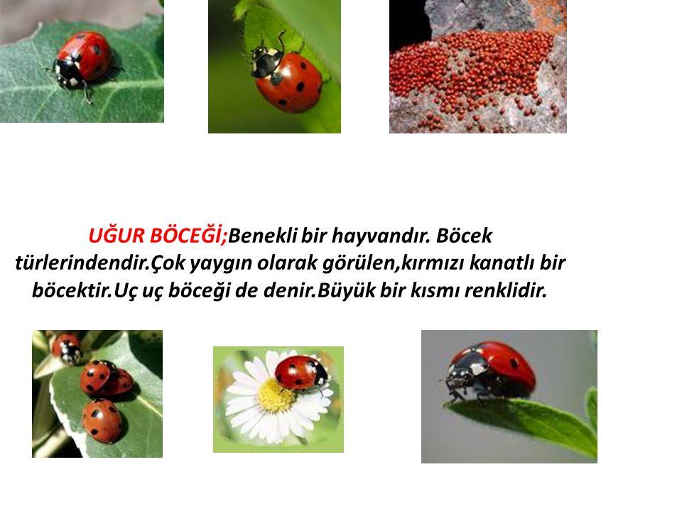 UĞUR BÖCEĞİ;Benekli bir hayvandır. Böcek türlerindendir.Çok yaygın olarak görülen,kırmızı kanatlı bir böcektir.Uç uç böceği de denir.Büyük bir kısmı r