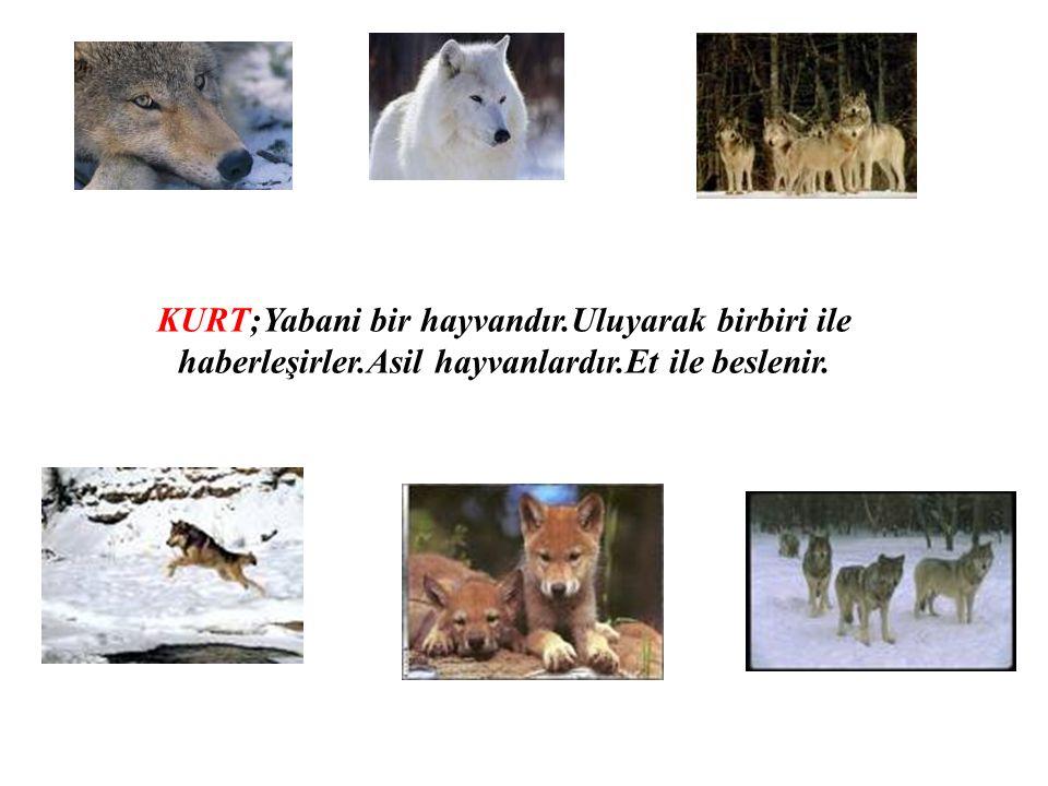 KURT;Yabani bir hayvandır.Uluyarak birbiri ile haberleşirler.Asil hayvanlardır.Et ile beslenir.