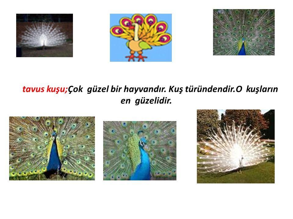 tavus kuşu;Çok güzel bir hayvandır. Kuş türündendir.O kuşların en güzelidir.