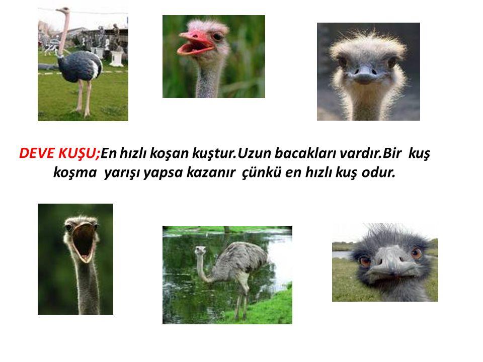 DEVE KUŞU;En hızlı koşan kuştur.Uzun bacakları vardır.Bir kuş koşma yarışı yapsa kazanır çünkü en hızlı kuş odur.