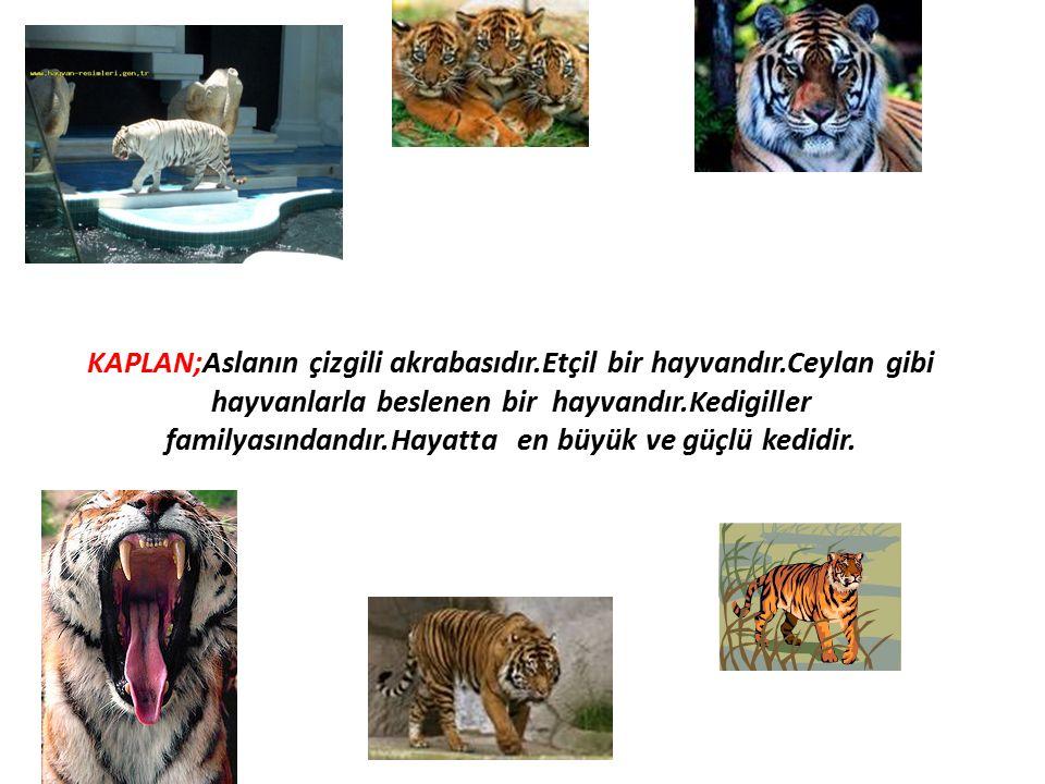KAPLAN;Aslanın çizgili akrabasıdır.Etçil bir hayvandır.Ceylan gibi hayvanlarla beslenen bir hayvandır.Kedigiller familyasındandır.Hayatta en büyük ve güçlü kedidir.