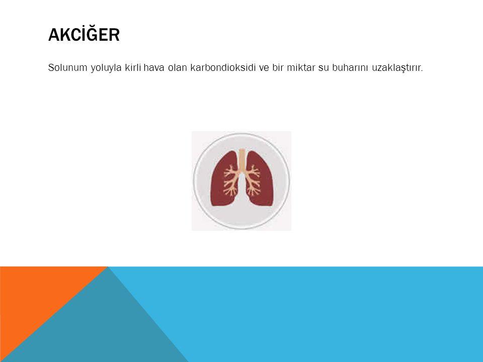 AKCİĞER Solunum yoluyla kirli hava olan karbondioksidi ve bir miktar su buharını uzaklaştırır.