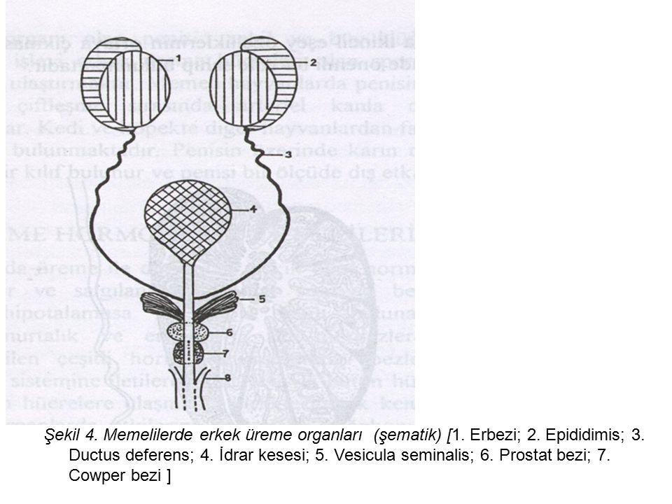 Şekil 4.Memelilerde erkek üreme organları (şematik) [1.