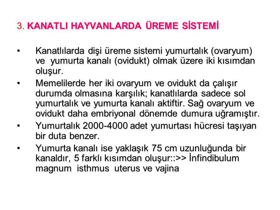 KANATLI HAYVANLARDA ÜREME SİSTEMİ 3.