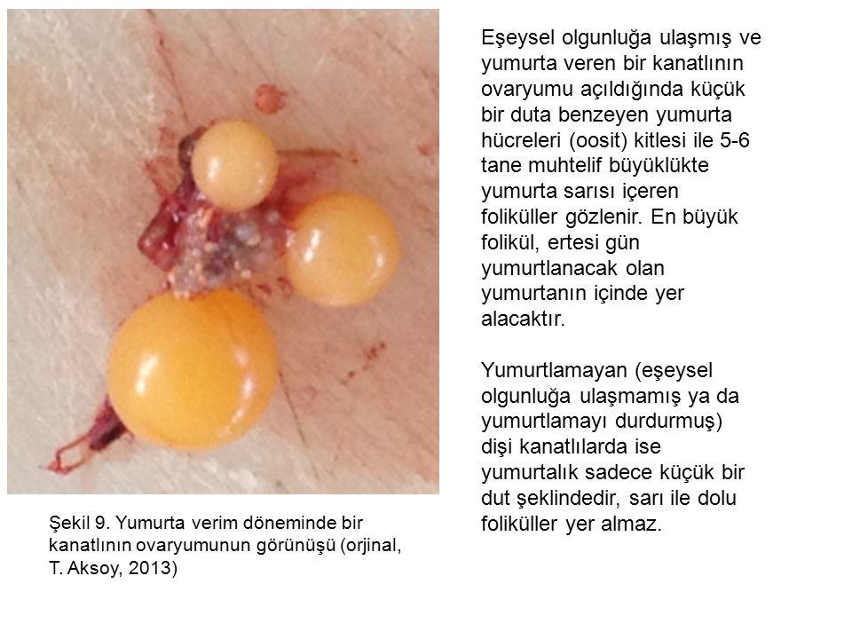 Şekil 9.Yumurta verim döneminde bir kanatlının ovaryumunun görünüşü (orjinal, T.