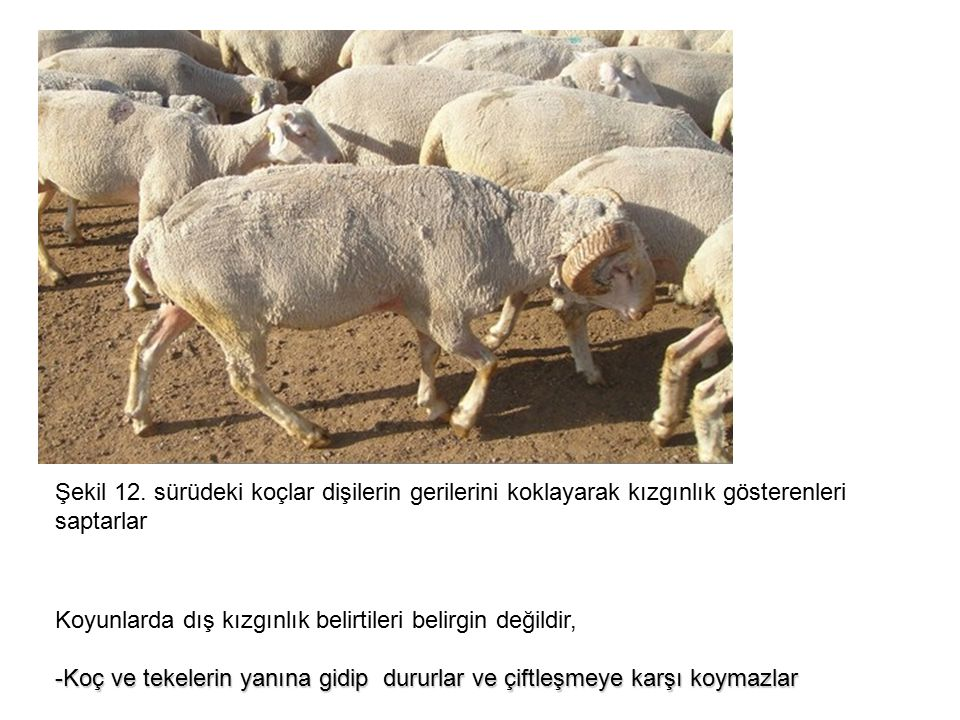 Koyunlarda dış kızgınlık belirtileri belirgin değildir, -Koç ve tekelerin yanına gidip dururlar ve çiftleşmeye karşı koymazlar Şekil 12.
