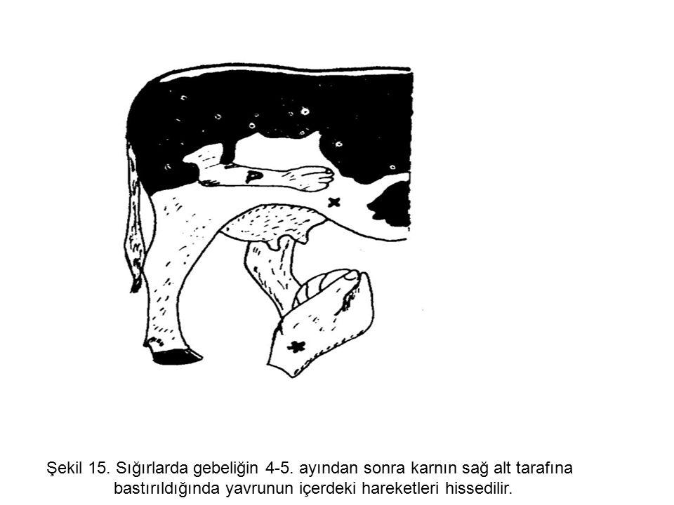 Şekil 15.Sığırlarda gebeliğin 4-5.