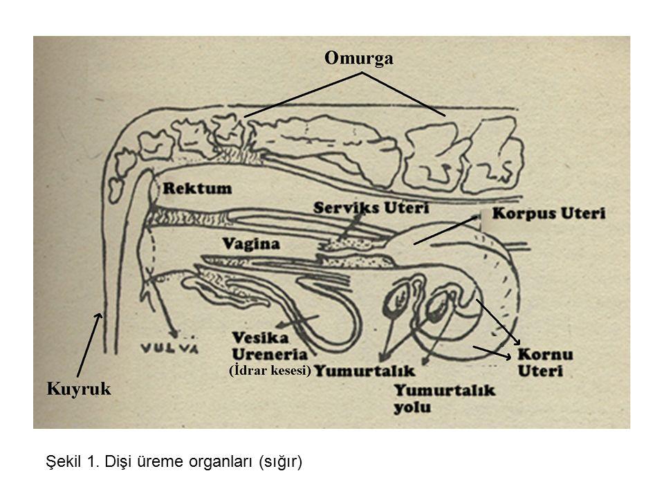 Şekil 1. Dişi üreme organları (sığır)
