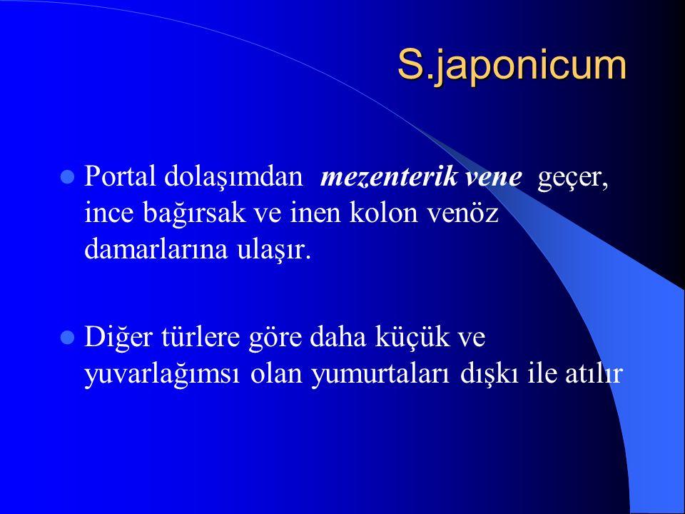 S.japonicum S.japonicum Portal dolaşımdan mezenterik vene geçer, ince bağırsak ve inen kolon venöz damarlarına ulaşır. Diğer türlere göre daha küçük v
