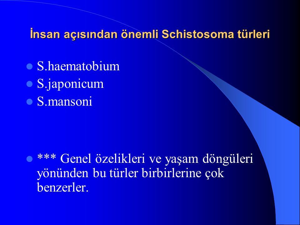 İnsan açısından önemli Schistosoma türleri S.haematobium S.japonicum S.mansoni *** Genel özelikleri ve yaşam döngüleri yönünden bu türler birbirlerine çok benzerler.