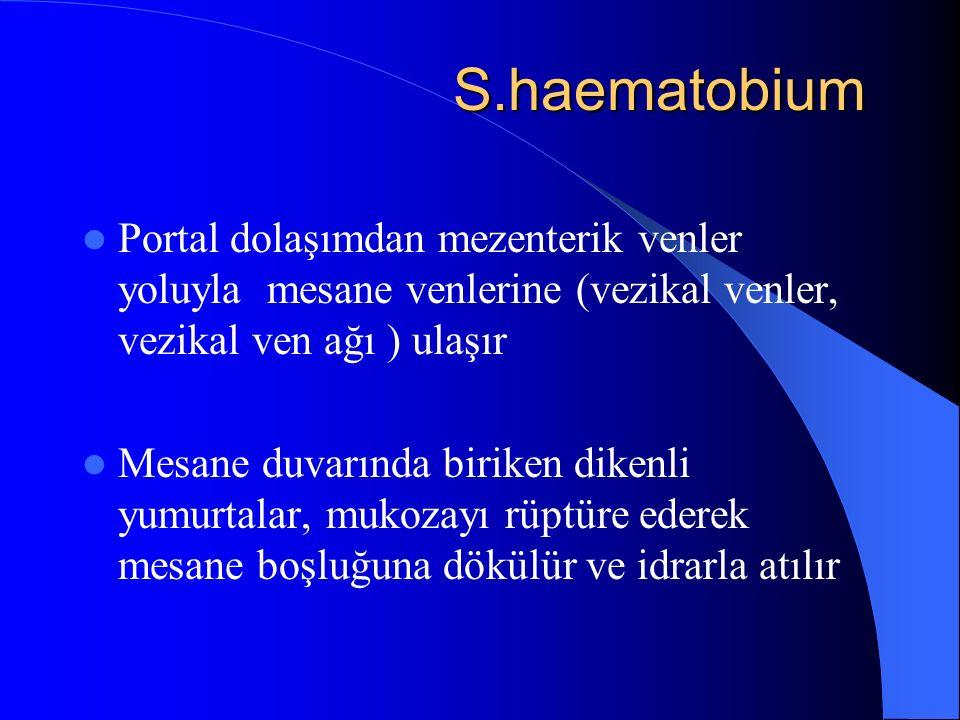 S.haematobium S.haematobium Portal dolaşımdan mezenterik venler yoluyla mesane venlerine (vezikal venler, vezikal ven ağı ) ulaşır Mesane duvarında biriken dikenli yumurtalar, mukozayı rüptüre ederek mesane boşluğuna dökülür ve idrarla atılır